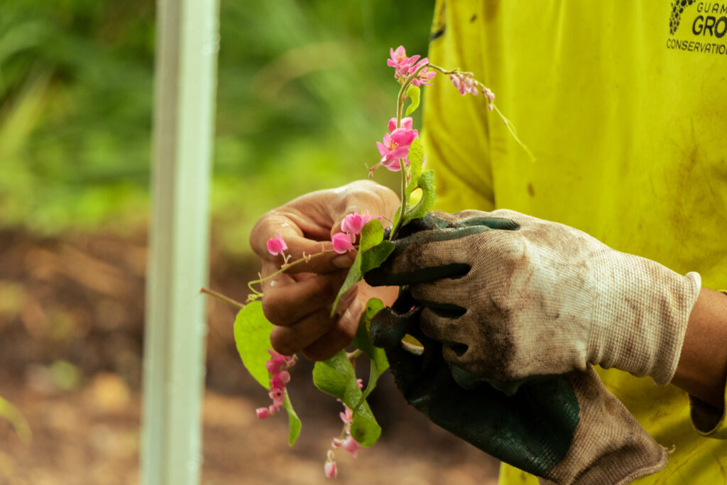 A member of the UOG G3 Conservation Corps holds a chain of love tendril with pink flowers. The vine was introduced as an ornamental and was first recorded on Guam as early as 1905 by botanist William Safford.